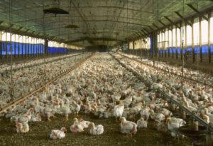 cafo-chickens